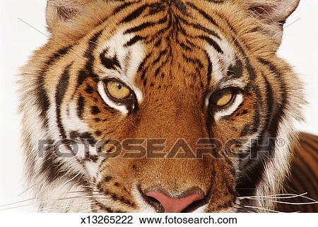 stock foto portr t von a tiger x13265222 suche stockfotografie fotodrucke fotos bilder. Black Bedroom Furniture Sets. Home Design Ideas