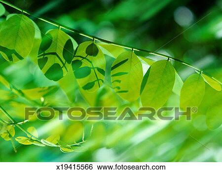 stock bilder akazie baum fabaceae sp bl tter. Black Bedroom Furniture Sets. Home Design Ideas