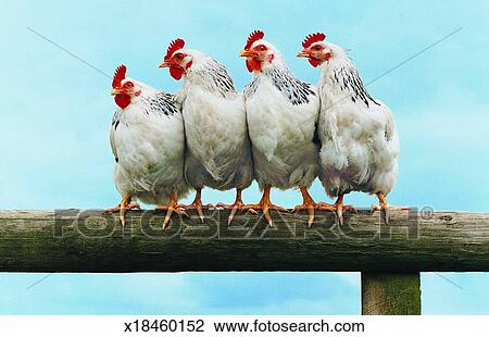 belonging in animal farm Is either recycled on cropland belonging to the animal farm or marketed in the usual set-up, an intermediary or a processor collects manure from poultry farms manure is either poultry production and the environment - a review 3.