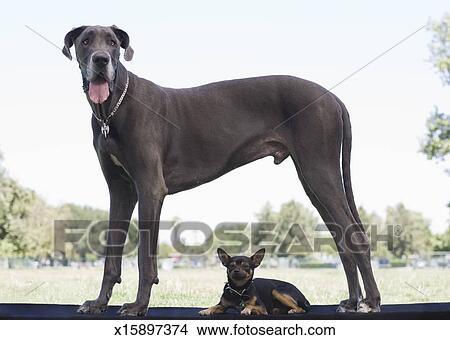 Deutsche dogge in klein