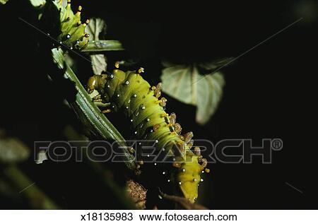 Banque de photo mite soie larves x18135983 recherchez - Larve de mite ...