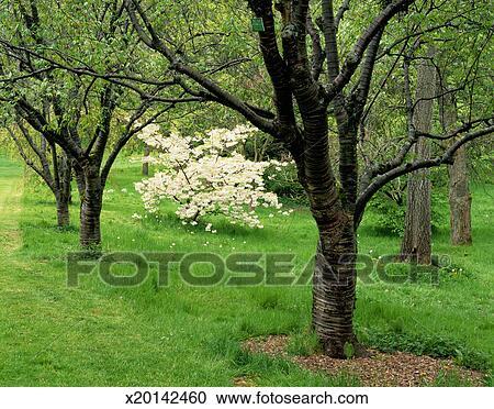 花, 日语, 樱桃树 x20142460 x20142460.jpg图片