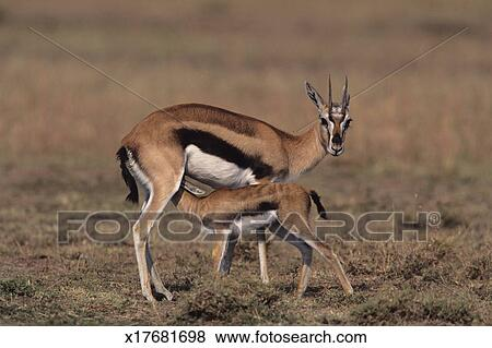 Pictures of Young Thomson's gazelle (Gazella thomsoni ...