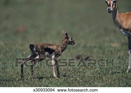 Stock Photo of Young Thomson's gazelle (Gazella thomsoni ...