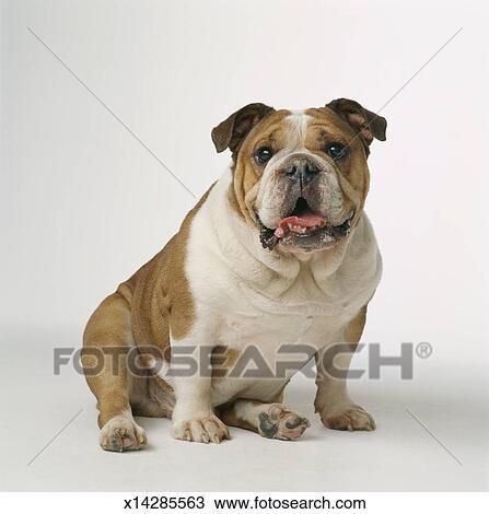 stock foto englische bulldogge x14285563 suche stock. Black Bedroom Furniture Sets. Home Design Ideas