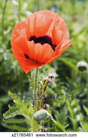 Stock photography of opium poppy flower papaver somniferum close opium poppy flower papaver somniferum close up mightylinksfo Choice Image
