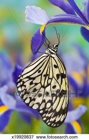 image cerf volant papier papillon leuconoe id e sur. Black Bedroom Furniture Sets. Home Design Ideas