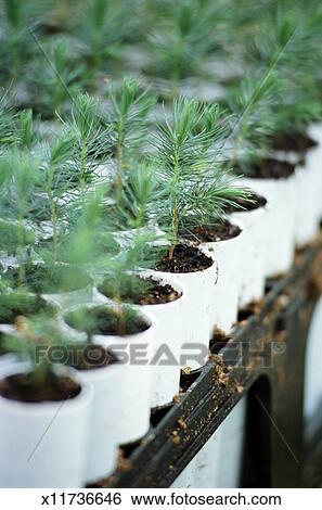 Выращивания туи из семян в домашних условиях