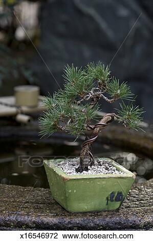 Archivio fotografico bonsai pino pianta x16546972 for Bonsai pianta