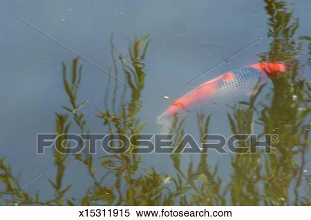 Stock image of koi fish swimming near surface of water for Koi fish near me