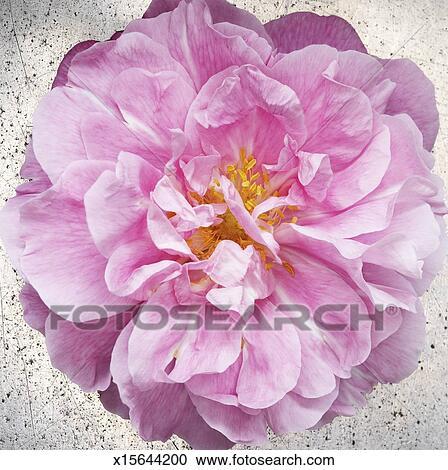 banques de photographies - fleur rose, à, jaune, étamines, gros