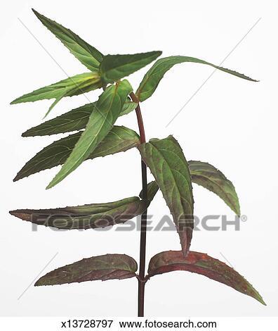 Immagine vera aloe pianta sfondo bianco x13728797 for Tipi di aloe