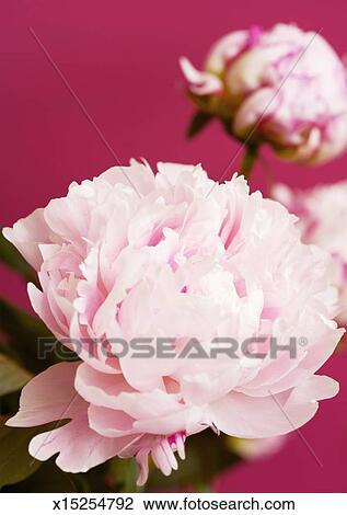 banque de photo pivoine fleur gros plan x15254792 recherchez des images des photographies. Black Bedroom Furniture Sets. Home Design Ideas