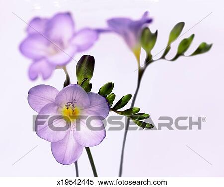 Stock bild elegante lila freesien auf a wei er for Elegante wandbilder
