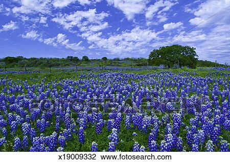 stock photo of field of bluebonnets x19009332 search