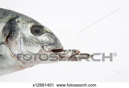 Stock photography of big fish eating small fish x12681401 for Big fish eat small fish