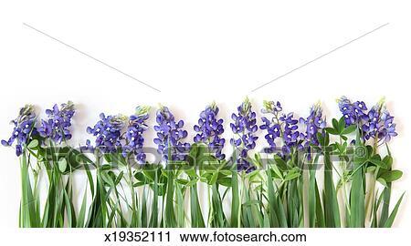 stock photography of bluebonnet flower border x19352111 search rh fotosearch com Puppy Clip Art Blue Flower Clip Art