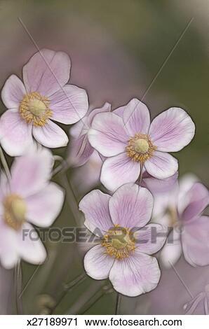 Archivio fotografico anemone giapponese fiore trio for Anemone giapponese