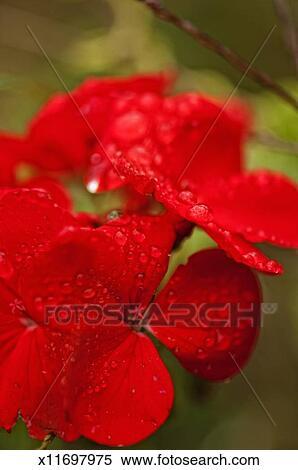 Stock Image of True Red Geranium Close-up x11697975 ...