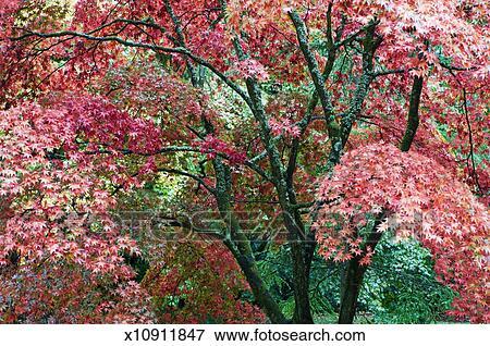 image rable japonais arbres acer palmatum dans automne x10911847 recherchez des. Black Bedroom Furniture Sets. Home Design Ideas