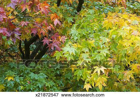 image rable japonais arbres acer palmatum dans automne x21872547 recherchez des. Black Bedroom Furniture Sets. Home Design Ideas
