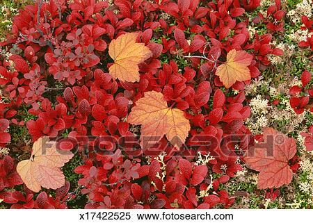 Archivio immagini vista di il orso bacca pianta for Pianta con foglie rosse