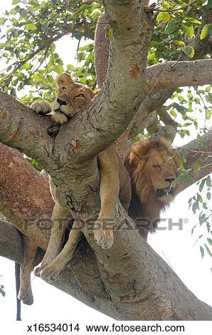 Archivio fotografico leonessa e leone in albero fico for Albero fico prezzo