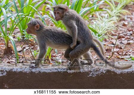 ألبوم الصور - القرود, تزاوج x16811155 - ابحث عن معارض صور ...