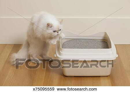 Persian cat and litter box