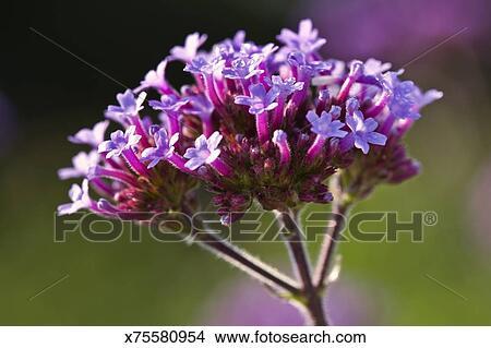 banque de photo fleurs de verveine bonariensis x75580954 recherchez des images des. Black Bedroom Furniture Sets. Home Design Ideas