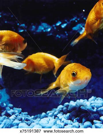 Foto goldfish en estanque de pez x75191387 buscar for Goldfish en estanque