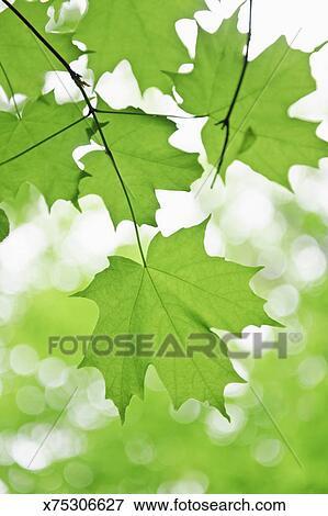 春天的树叶剪贴画