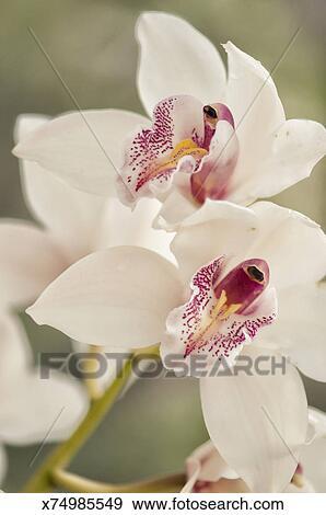 banque de photographies cymbidium orchid e fleurs x74985549 recherchez des photos des. Black Bedroom Furniture Sets. Home Design Ideas