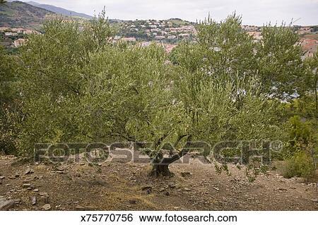 Banque d 39 images olivier olea europaea x75770756 recherchez des photos des images des - Olivier olea europaea prix ...