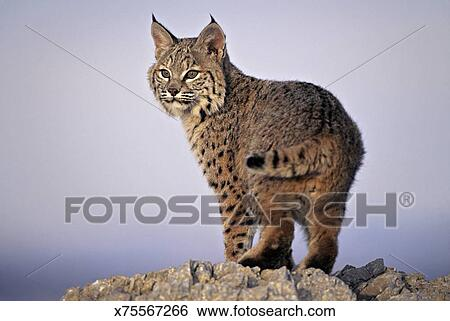 图片银行 - bobcat, 山猫rufus, uinta, 国家的森林, 犹他, 美国