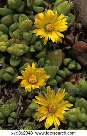 Pictures of yellow daisy like flowers of hybrid dwarf succulent picture yellow daisy like flowers of hybrid dwarf succulent glottiphyllum red butte mightylinksfo