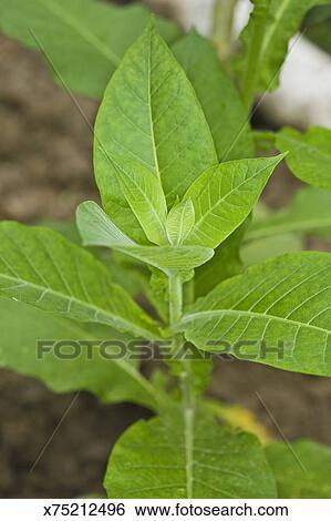 banque d 39 images tabac plante x75212496 recherchez des photos des images des photographies. Black Bedroom Furniture Sets. Home Design Ideas