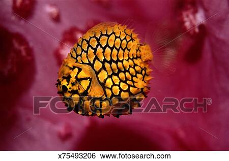 创意设计图片在线 - 松果鱼, (monocentris, japonica图片