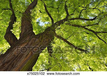 Archivio fotografico albero acacia x75025102 cerca for Acacia albero