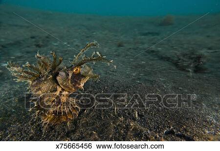 banque d 39 images diable stinger poisson scorpion x75665456 recherchez des photos des. Black Bedroom Furniture Sets. Home Design Ideas