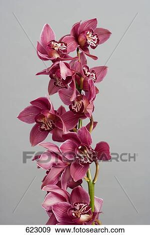 Archivio fotografico orchidea colore rosa cymbidium 623009 cerca archivi fotografici - Orchidea da esterno cymbidium ...
