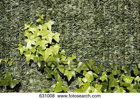 hedera helix english ivy