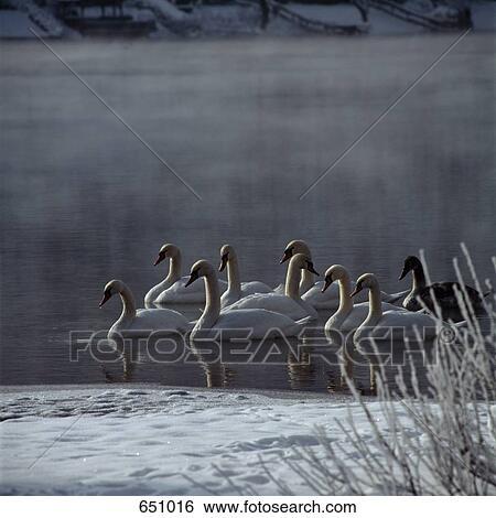 Archivio di immagini uno mezzo gruppo di cigni - Animali in inverno clipart ...