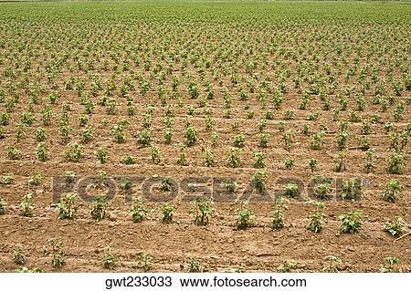 Field Crops Clipart Cotton Crop in a Field Nazca