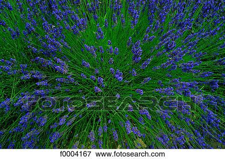 bild blumen blume lila flora lavendel aromatischer. Black Bedroom Furniture Sets. Home Design Ideas