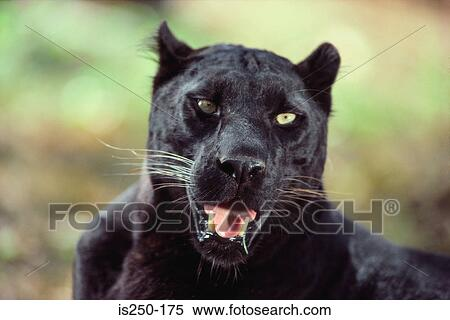 Stock image of close up of a black panther is250 175 for Black panther mural