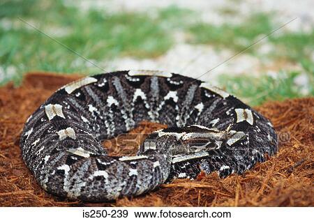 Archivio fotografico serpente is250 239 cerca archivi for Serpente nero italiano