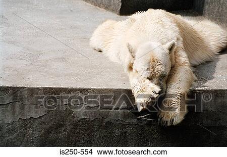 banque de photo dormir ours blanc is250 554 recherchez des images des photographies et des. Black Bedroom Furniture Sets. Home Design Ideas