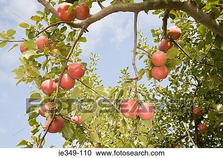 Stock photography of apple tree ie349 110 search stock for Apple tree mural