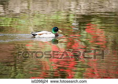Stock photo of a duck on a pond is0266j24 search stock for Duck pond mural